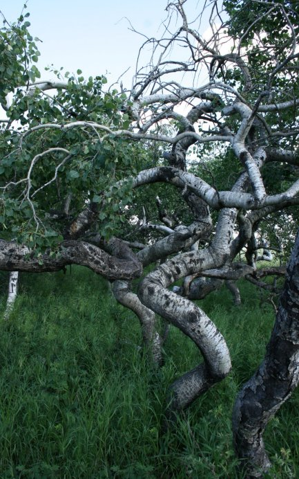 Crocket Tree Saskatchewan